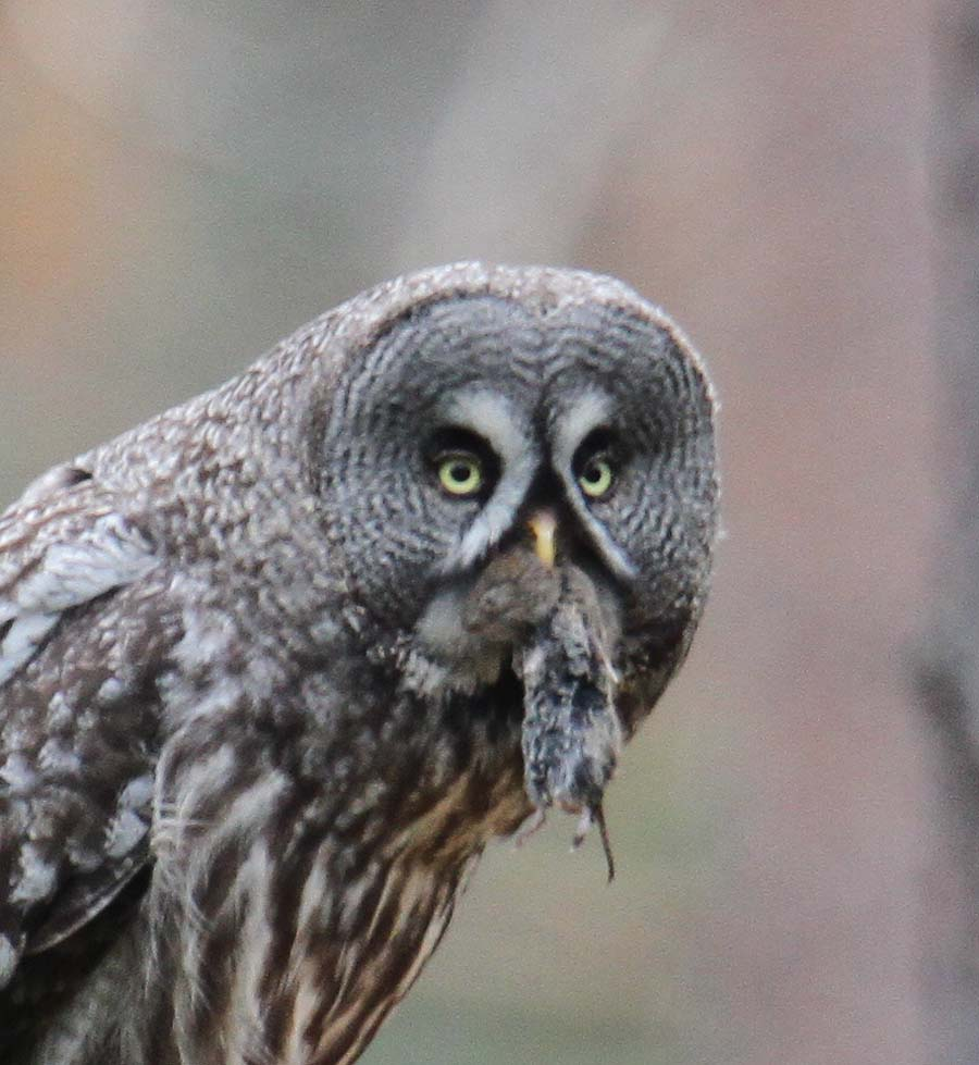 great grey owls The great gray owl's diet consists of almost entirely small rodents about 90% of their diet consists of pocket gophers and voles other small mammals taken by the owl include mice, squirrels, young rabbits, hares, rats, moles, and weasels.