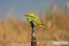 Little Green Bee-eater, Egypt