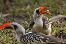 Red-billed Hornbill, The Gambia