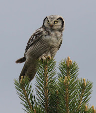 Hawk Owl, Sweden