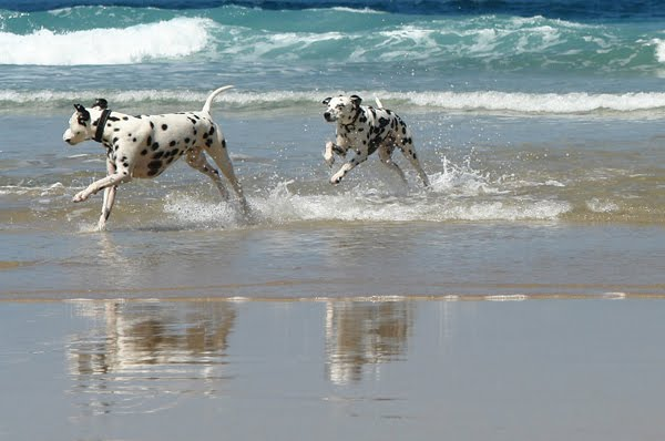 Dalmatians are active and energetic dogs, loving to be outdoors. They ...