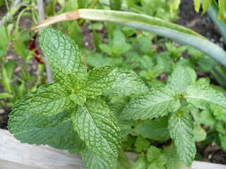 the mint's doing surprisingly well, guess it's all the rain and that hippie shadecloth