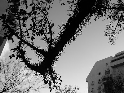 Ашкелон, фиговое дерево, инжир, черно-белое фото