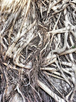 воздушные корни фикуса