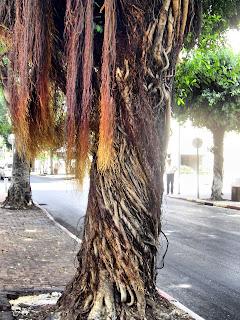 волосы на дереве, воздушные корни