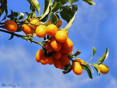 карликовые мандарины