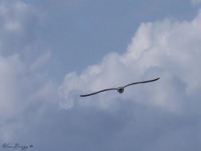 чайка в полёте задом наперёд