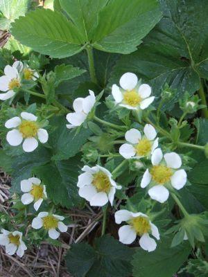 http://4.bp.blogspot.com/_G1cvrqNaIVA/SeVGwEDskTI/AAAAAAAAA54/rRtGUp_k1qs/s400/strawberry+blooms.jpg