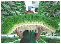 Best Organic Wheatgrass!!