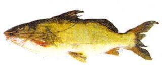 Especies Deportivas De La Pesca en Argentina
