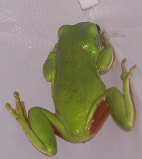 green tree frog essay The costa rican flying tree frog soars from branch to branch with the help of its feet webbing between the frog's toes puffs up with air like a parachute.