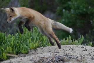 a jumping red fox