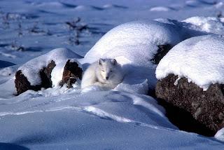 arctic white fox, that does not hibernate