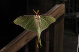 Moth-ra