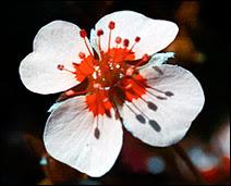 Une Potentilla erecta photographiée en UV au moyen d'un flash UV, seule manière d'enregistrer le véritable rayonnement (couleurs) de la fleur. Sans flash UV, l'image aurait été bleutée.