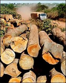 L'exploitation du bois précieux d'Amazonie pour alimenter encore un peu plus le marché des riches occidentaux.