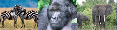 Un quart des grands mammifères dont le zèbre, le gorille et l'éléphant sont menacés d'extinction.
