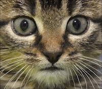 Un jeune chat abyssin. Tous n'ont pas ce profil ressemblant à celui du chat de gouttière. Document AFP/Samuel Kubani.