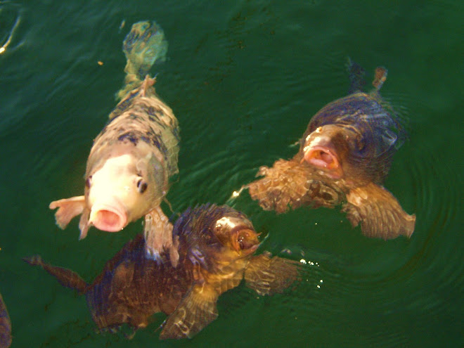 A NUMBER OF HUNGRY CARP - KATHERINE'S LANDING.
