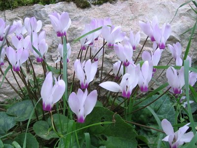 If you want to know more about holistic healing, CLICK THESE CYCLAMEN, and reach