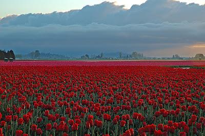 Skagit Valley Tulip Field In Early Morning, Washington