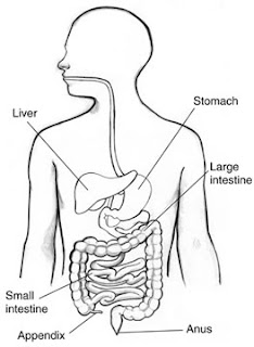 mon Digestive System Diseases together with Morphology besides Alimentary system likewise Nutrition In Animals3 in addition Digestive System Of Toad. on large intestine digestive tract
