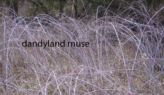 dandyland muse