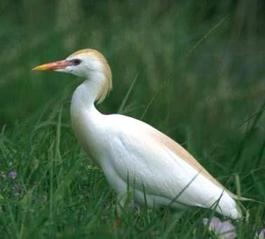 أبو قردان (بلشون البقر) Bubulcus_ibis.jpg
