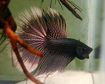 how to know if a betta fish is skinny
