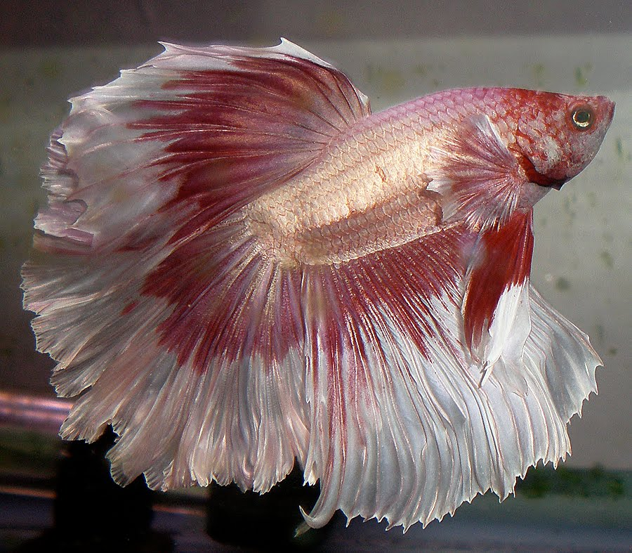 Once a fish now a dragon what it means to be a betta for How much does a betta fish cost