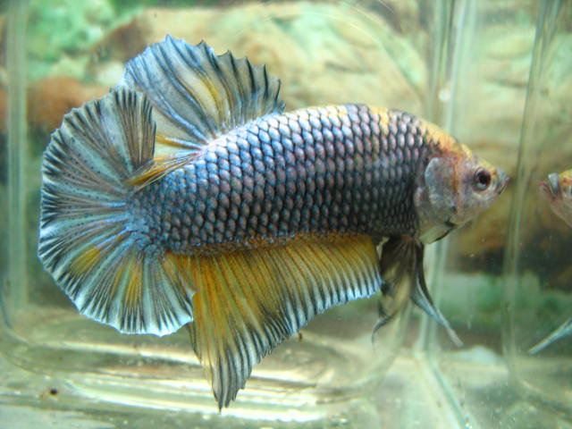 Once a fish now a dragon betta plakat underwater warriors for Fish that get along with betta