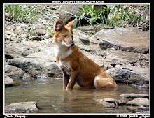 Indian Wild Dog - Dhole