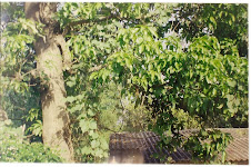 Mango Tree at Home