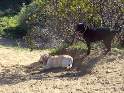Happy Labradors