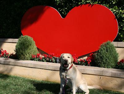 Valentine's yellow Labrador Cooper