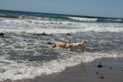 English and American Labradors in the surf