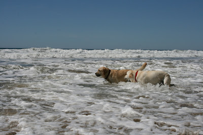 Surf yellow Labradors