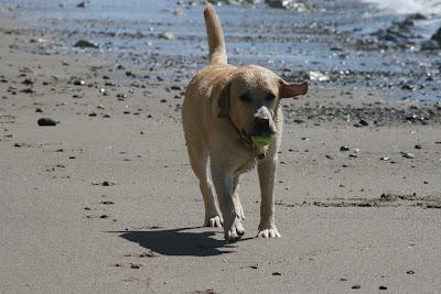 Beach Labrador Cooper