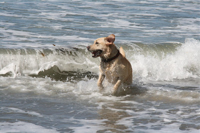 Labrador Cooper in the waves