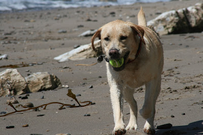 Sandy shores Labrador
