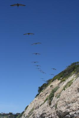 Pelicans over cliff