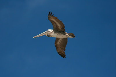 Pelican in flight at Sycamore Cove