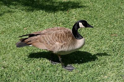 Huntington Gardens Goose