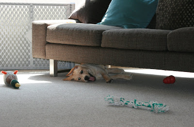 Under the sofa with his toys at 13 weeks