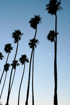 Palm trees of Palisades park in Santa Monica