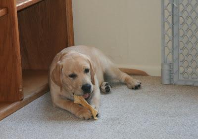 Cooper enjoying his chew