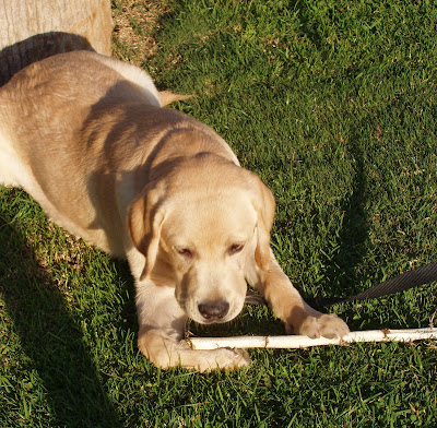 Happy puppy chewing on his stick