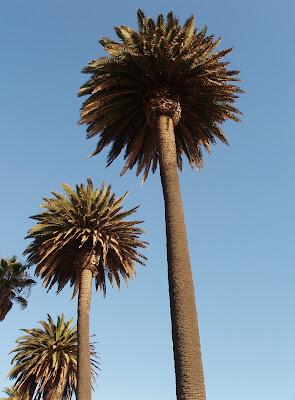 Palisades Park palms