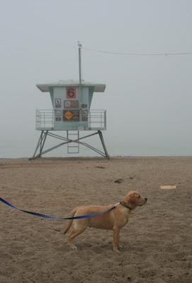Lifeguard puppy