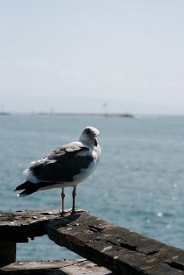 Venice Beach Pier Seagull